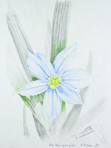 Pale blue-eyed grass