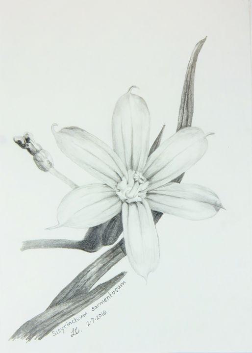 Sisyrinchium sarmentosum - IvyRadicans Art