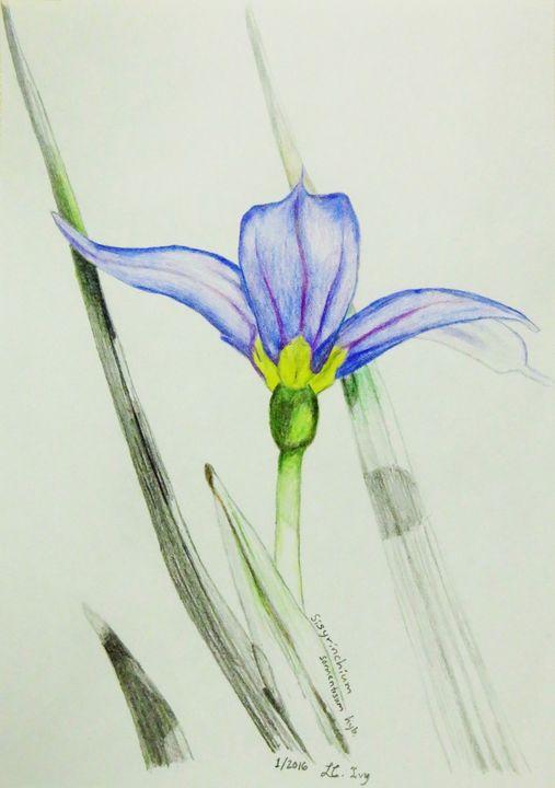 Sisyrinchium sarmentosum hybrid - IvyRadicans Art