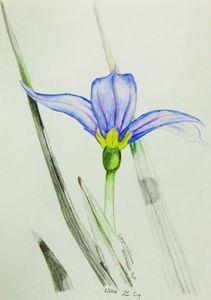 Sisyrinchium sarmentosum hybrid