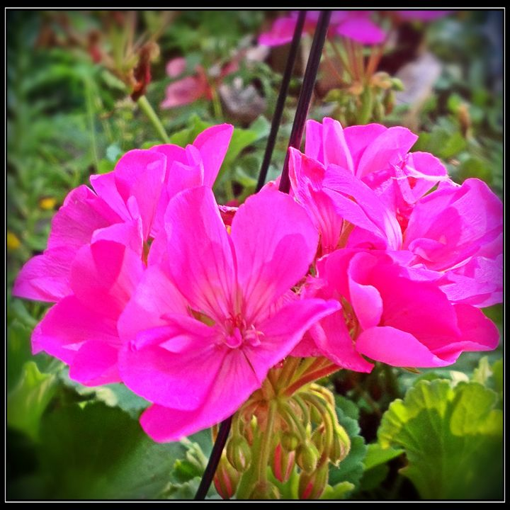 Passion Pink Geranium - Harmony Hands Art