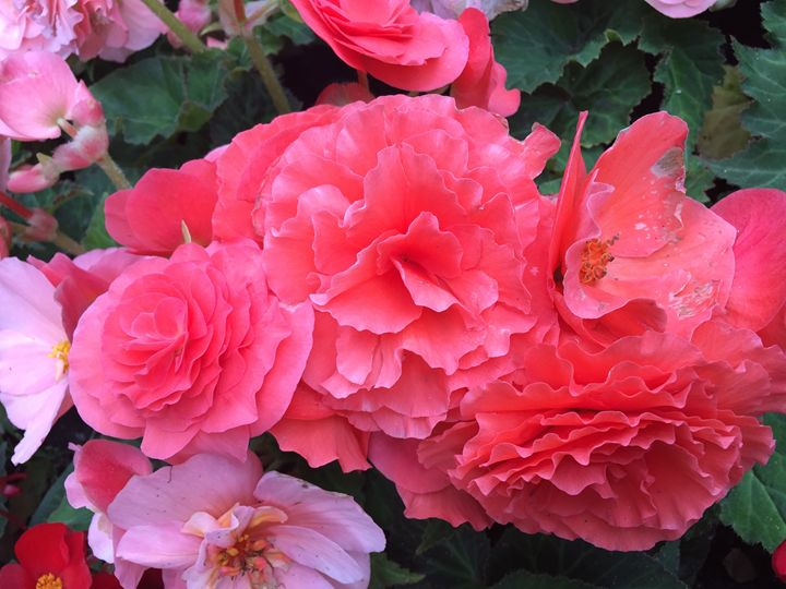 Pink Flowers - Schmeltz