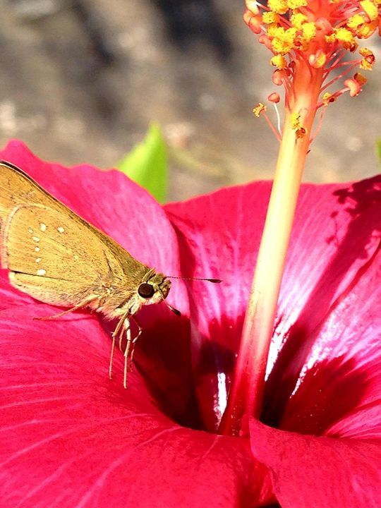 Butterfly and Hibiscus - Belle Price