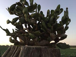 Glorious Cactus