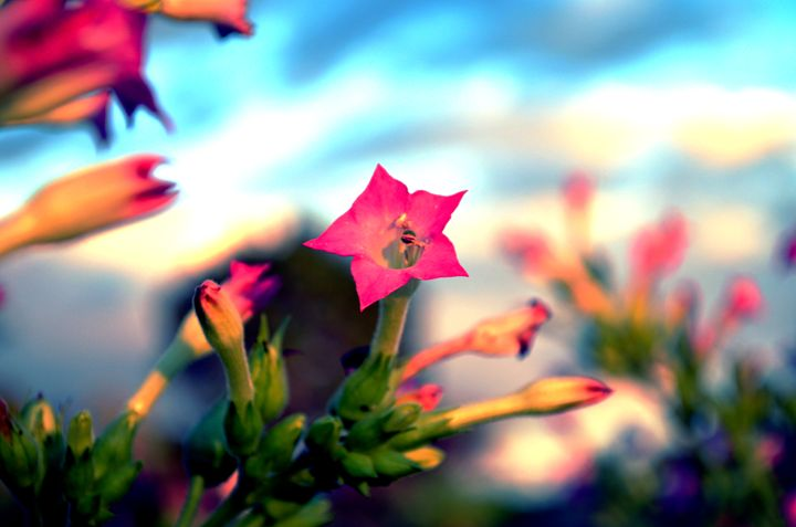 Pink Star - 210 Photography