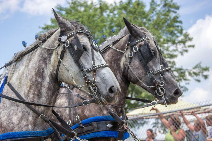 Two White Horses at Parade - SEGG Media