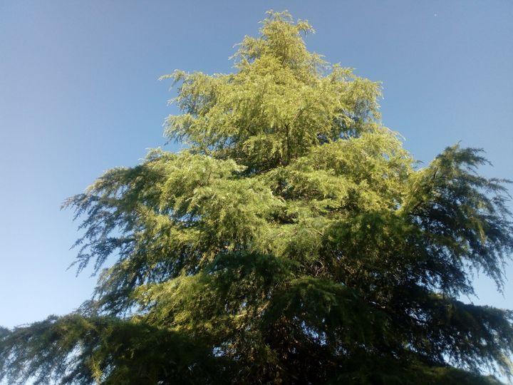 Cedar  tree -  Nievesdelafuentelinares