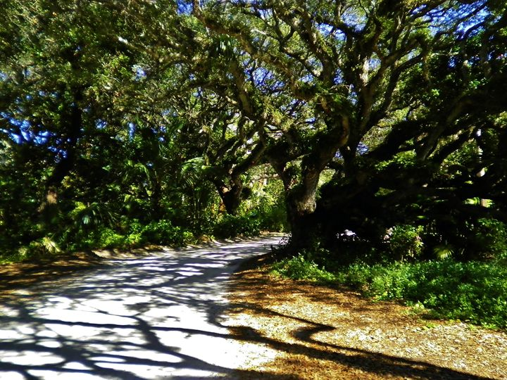 LIVE OAK SHADOWS - C. A. Cerreto Art & Photography