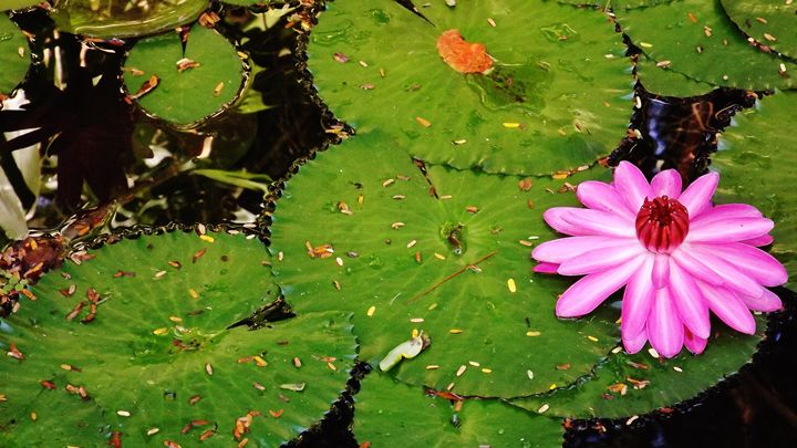 WATER LILY IN BLOOM - C. A. Cerreto Art & Photography