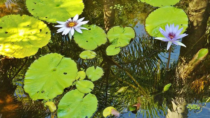 WATER LILIES WITH REFLECTIONS - C. A. Cerreto Art & Photography