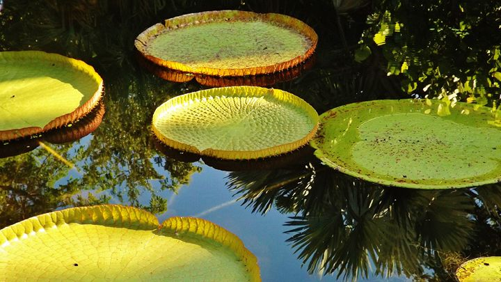 GIANT WATER LILY - C. A. Cerreto Art & Photography