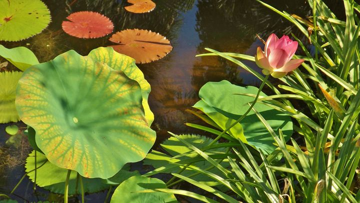 LOTUS BLOSSOM AND WATER LILIES - C. A. Cerreto Art & Photography