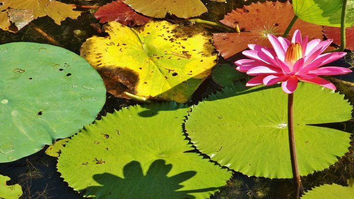 WATER LILY WITH SHADOWS - C. A. Cerreto Art & Photography