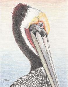 Brown Pelican - Darren Mitchell