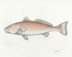 Redfish - Darren Mitchell