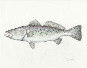 Speckled Trout - Darren Mitchell