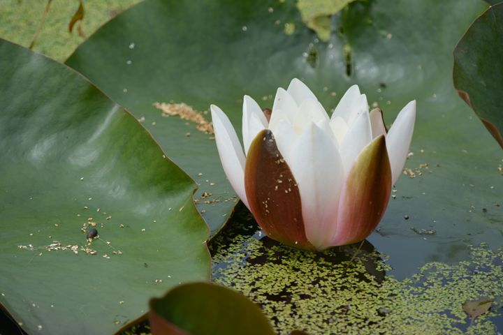 White water Lily - Suzanne Morrison
