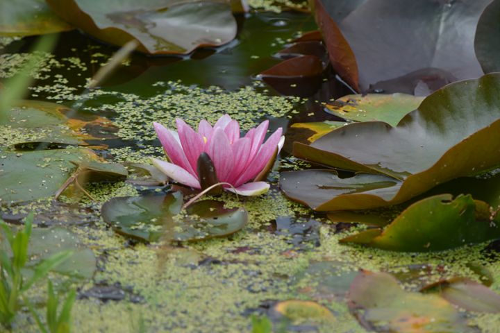 Pink water lily - Suzanne Morrison