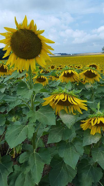 Sunflower Fields - Megan