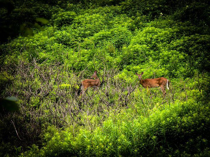 Vermont Deer - Sherm's Photo Service