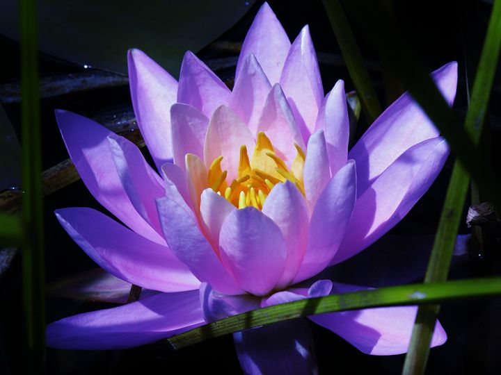 Waterlily Blues - Sherm's Photo Service