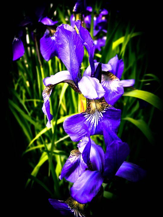 Beautiful Iris Flowers - Sherm's Photo Service
