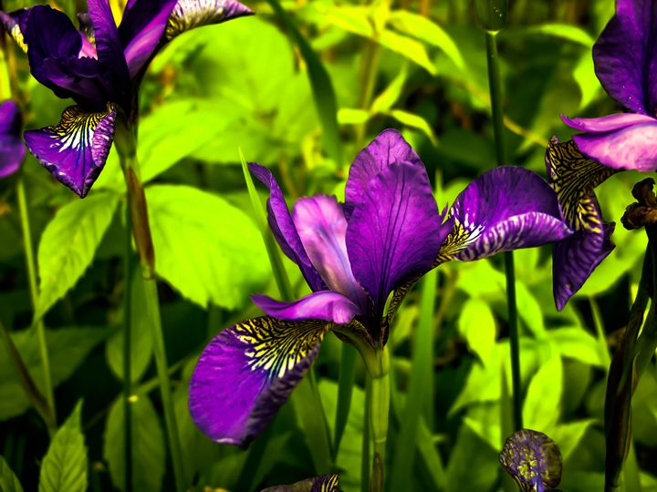 More Iris Flowers - Sherm's Photo Service