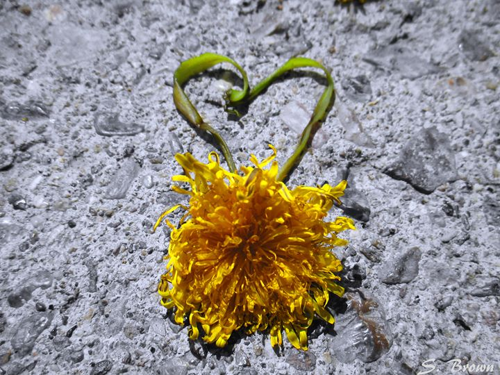 Dandelion Heart - S. Brown Photography