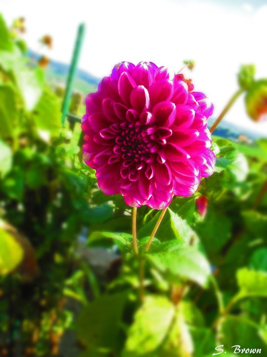 Purple Blur - S. Brown Photography