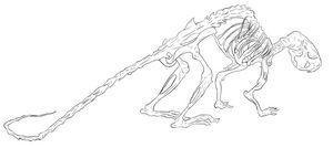 Rodent Skeleton