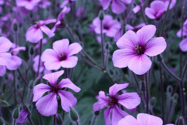 Purple Flowers - Chloe Seaton