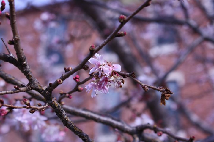 Philidelphia Cherry Blossoms - Chloe Seaton