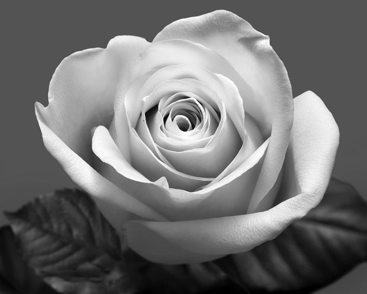 Rose so Soft - Jana Rene' Photography