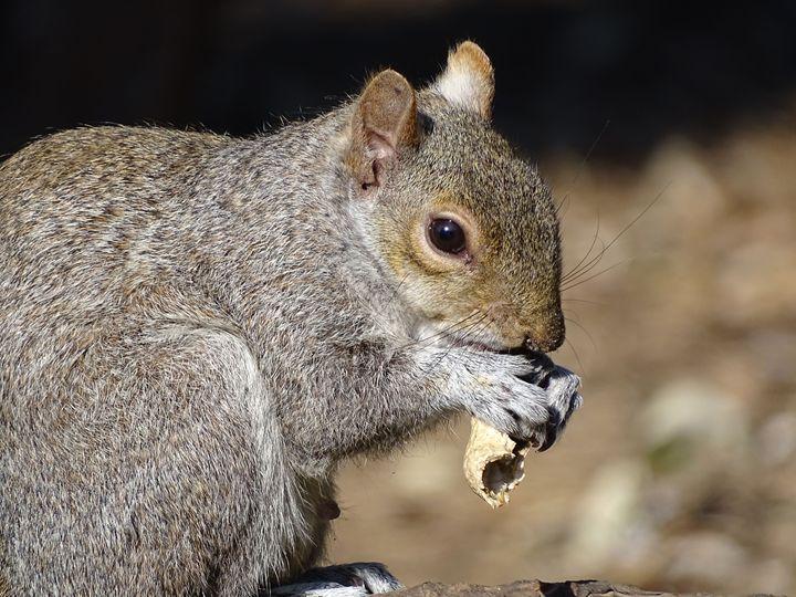 Squirrel Eating Nut - Dan Jones Photography
