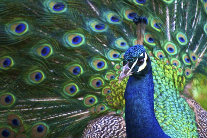 Peacock - Matt MacMurchy