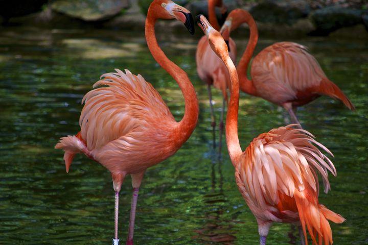 Flamingo Fight - Matt MacMurchy