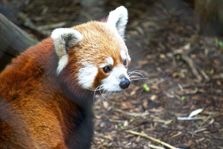 Red Panda - Matt MacMurchy