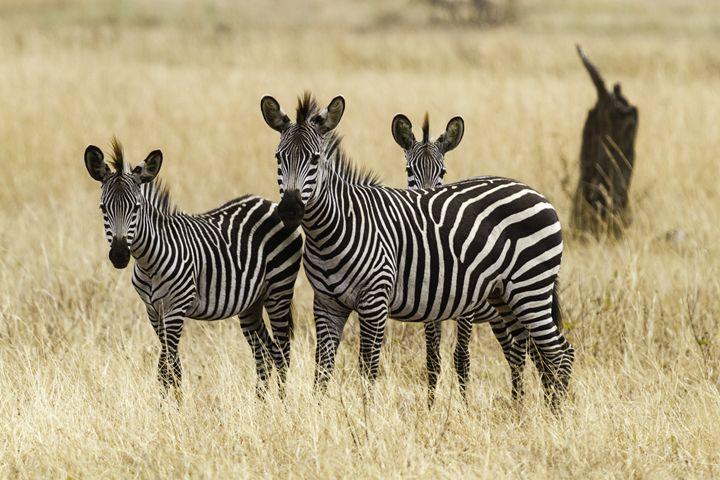 Three zebras - YDP