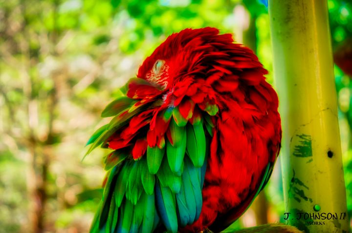 Parrot scratching - Works By J. Johnson