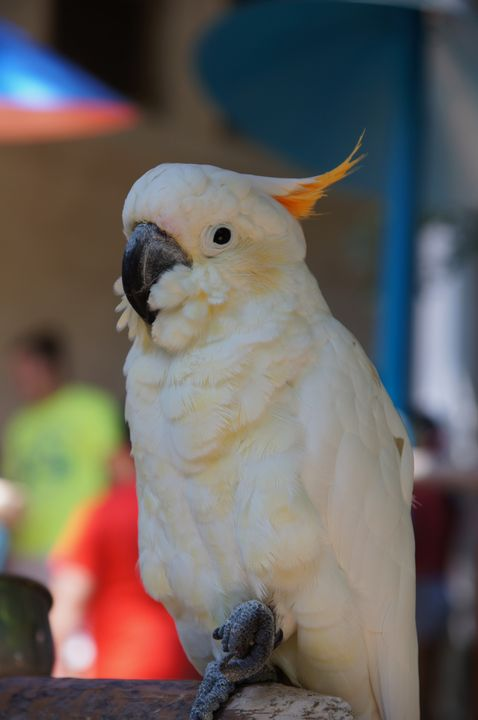 Cockatoo pose - Works By J. Johnson