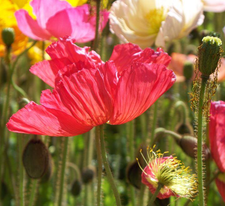 Pink Poppy 2 - Geraldine Cote