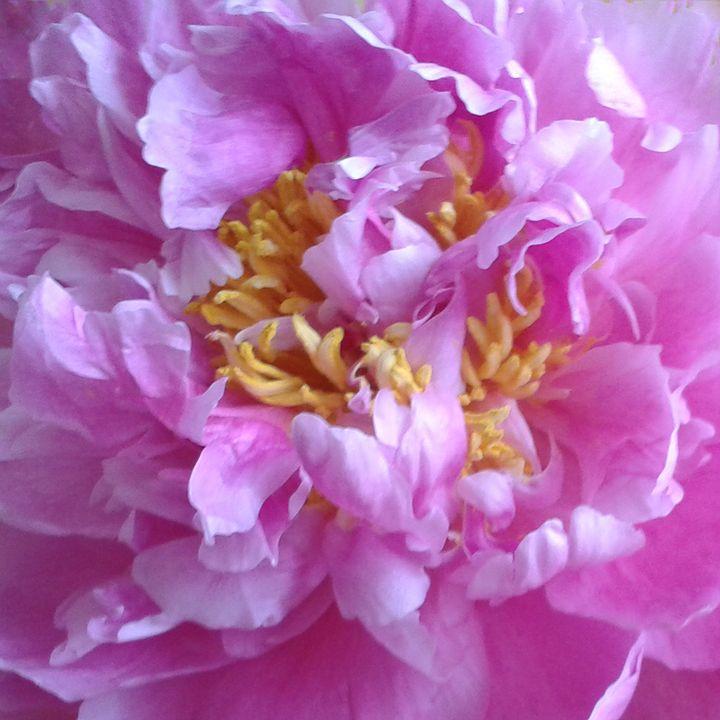 Pretty in Pink Peony - Geraldine Cote