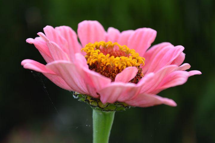 Pink Zinnia Spider Silk - Geraldine Cote