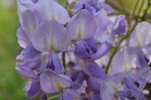 Lavender Blue Wisteria 2 - Geraldine Cote