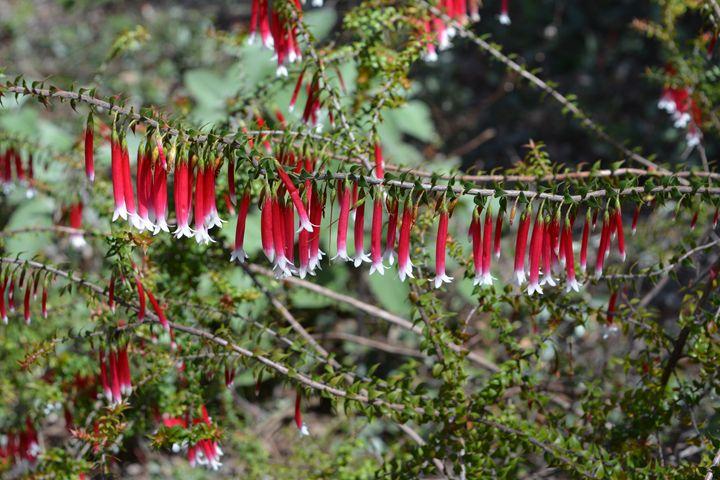 Christmas Bells 2 - Australian Nativ - Geraldine Cote