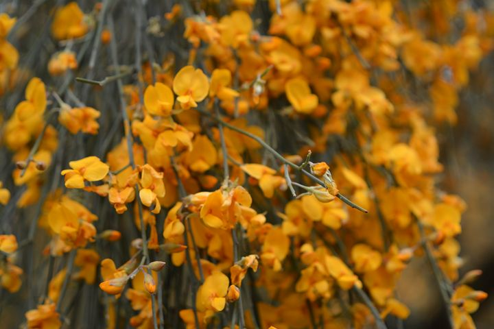 Yellow rain dogwood australian na geraldine cote photography yellow rain dogwood australian na geraldine cote mightylinksfo