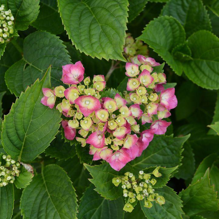 hydrangea Heart 3 - Geraldine Cote