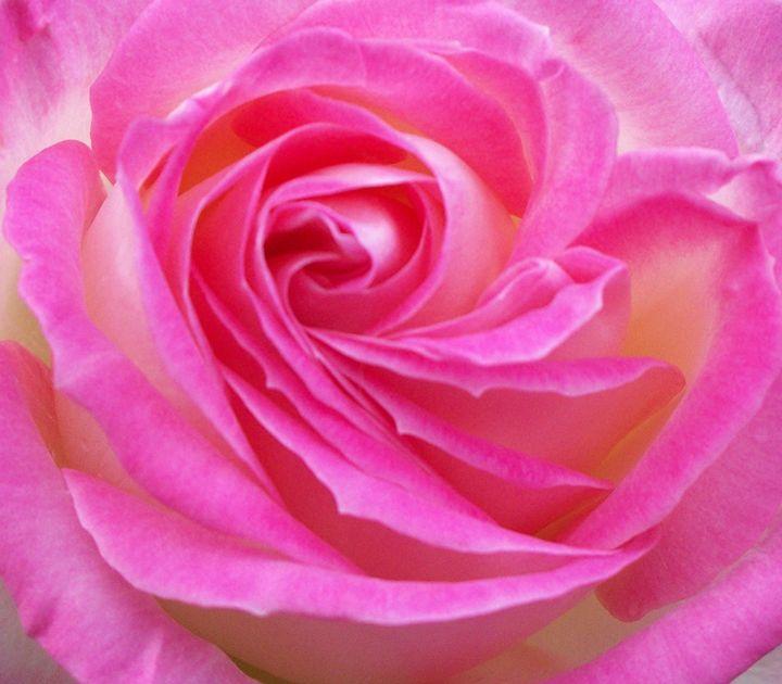 Princess Of Monaco Rose 2 - Geraldine Cote