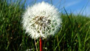 Dandy in the wind