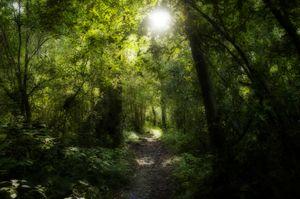 Giant tree trail